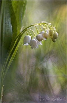 """Convallaria majalis"" - © Carola Onkamo (former Lundmark)"