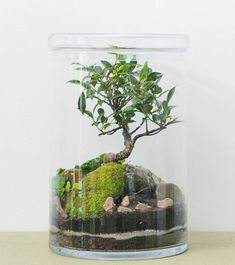 Bonsai Ficus, Ficus Pumila, Green Factory, Terrariums, Plant In Glass, Still Life, Paris, Gardening, Macedonia