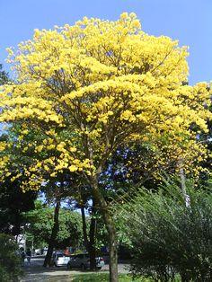 Ipê amarelo - Gavea