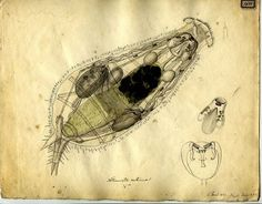 Original sketch of microorganism (1833?) by Christian Gottfried Ehrenberg - German naturalist, zoologist, comparative anatomist, geologist, and microscopist. From the German Natural History Museum.