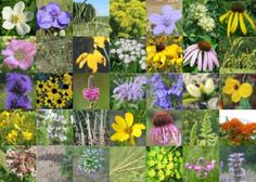 Anise Hyssop, Prairie Onion, Lead Plant, Canada Anemone, Common Milkweed, Butterfly Weed, Canadian Milk Vetch, Blue Wild Indigo, Yellow Wild Indigo, Hairy Wood Mint, Partridge Pea, Prairie Coreopsis, Pale Purple Coneflower, Bush's Coneflower, Purple Coneflower, Cream Gentian, Round-Headed Bush Clover, Button Blazing Star, Great Blue Lobelia, Wild Bergamot, Wild Quinine, Purple Prairie Clover, Long-Headed Coneflower, Pasture Rose, Black-Eyed Susan, Brown-Eyed Susan, Wild Petunia, Ohio…