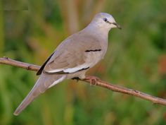 2554. Picui Ground-dove (Columbina picui) | found in Argentina, Bolivia, Brazil, Chile, Colombia, Paraguay, Peru, and Uruguay in subtropical or tropical dry shrubland, subtropical or tropical moist shrubland, subtropical or tropical high-altitude shrubland, and heavily degraded former forest