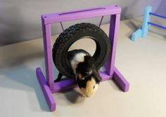 Guinea Pig Agility!