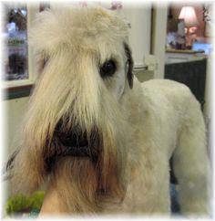 Soft Coated Wheaten Terrier Grooming | Norwich Terrier, handstripped