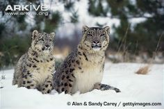 A rising global demand for cashmere is putting the snow leopard and other native wildlife in Central Asia under threat, according to a new study. Read more on this story at BBC News – Cashmere trade threat to snow leopards and The Guardian – Snow leopards and wild yaks becoming 'fashion victims'. View more images and videos of the snow leopard on ARKive.