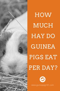 Are you a new guinea pig owner who is wondering how much hay do guinea pigs eat a day? What pack size should you buy & more? Guinea Pig Food, Pet Guinea Pigs, Guinea Pig Care, Beautiful Cats, Animals Beautiful, Funny Animal Videos, Funny Animals, Guinea Pig Information, Pigs Eating