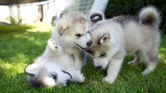 Come play with us! I <3 husky puppies!