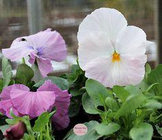 Drivhus - Greenhouse - stedmoderblomster - Havets Sus - Grøn - Green - flowers - flower - blomster - spring