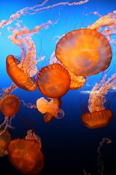 orange and blue jellyfish Underwater Creatures, Underwater Life, Ocean Creatures, Under The Ocean, Sea And Ocean, Fauna Marina, Beneath The Sea, Deep Blue Sea, Sea World