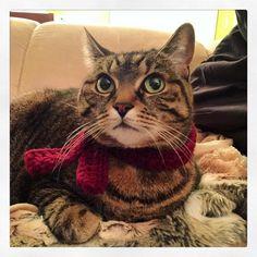 Winter feline fashion trend: the crochet scarf.  Designed by @ameliedumasaubin  #fashionablecat #kitty #fashion #cat #Chababa #instakitty #instafashion #crochet #crochetscarf #winter #photooftheday #cute