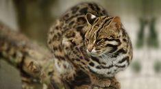 Bengal Leopard Cat (Prionailurus bengalensis bengalensis) [in captivity]