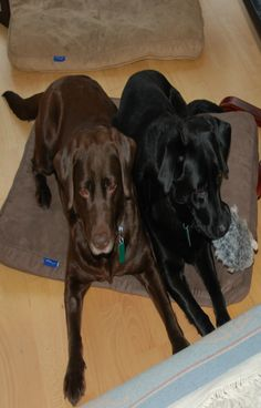My new dogs , Izzie and Bree, rescued from the Edinburgh Cat and Dog Home, after their owner died and their family kicked them out. Lovely gentle Labradors .