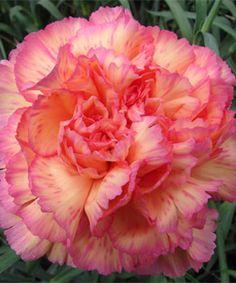 Havana carnation