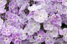 16 Flowers that Bloom All Summer Long: Garden Phlox