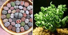 10 Of The Most Uniquely Beautiful Houseplants That You Never Knew Existed - Everything for Your Garden Black Succulents, Succulents Garden, Unusual Plants, Small Plants, Marimo Moss Ball, Natural Beauty Recipes, Sandy Soil, Homemade Cleaning Products, Houseplants