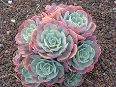 Echeveria Glauca | One of the hardiest and most popular succulent plants with rosettes of large, blue-green leaves, which have a narrow red margin in good light. | Plant Lust. Photo Credit: Peter Richardson