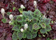 Tiarella 'Appalachian Trail': A lovely, rapidly trailing groundcover which sports numerous branches. Short white flowers. Vigorous without getting out of hand.