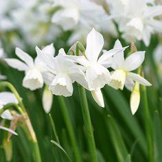 Narcissus 'Thalia' (1 foot tall; May blooms)