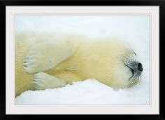2 day old Harp Seal pup - Gulf of Saint Lawrence, Newfoundland Canada