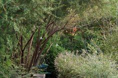 Thryptomena saxicola 'F C Payne' Leptospermum petersonii Adenanthos sericus Outdoor Living, Garden Design, How To Plan, Frame, Nature, Plants, Outdoor Life, Naturaleza, Flora