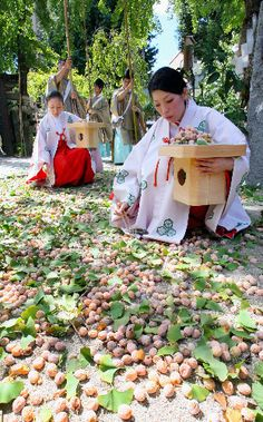 Miko (shrine maidens) at Kushida Jinja in Fukuoka picking up fallen gingko nuts with chopsticks. The fruit is removed from the seeds (nuts) which are then given away to shrine visitors. 櫛田神社