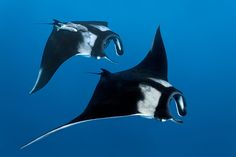 Two Reef manta rays on Cocos Island in the Costa Rica Thermal Dome. The area is a unique oceanic oasis, a wind-driven upwelling system, which forms a highly productive area and a critical habitat