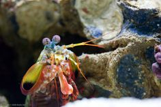 Peacock Mantis Shrimp.  Wow, what an amazing creature!  Waldo Nell via Flickr  _53W5864 | by pwnell