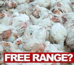 """Free range has become as horrific as caged, cramming as many birds into as little space as possible. This is what most """"free-range"""" now looks like in some cases"""