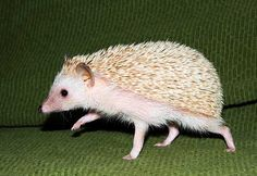 hedgehog.jpg 500×344 pixels