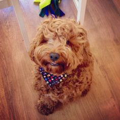 Dexter came to live with us one year ago today x #cockapoo #cockerpoo #spoodle