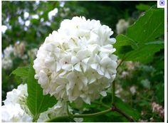 white viburnum, may be more in season in march than hydrangea's
