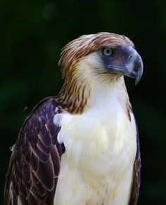 """""""The Philippine Eagle considered the largest of the extant eagles in the world in terms of length. Visit Phillipine eagle center in Davao City. #ApoViewHotel"""""""