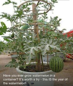 Container Watermelons Go Vertical | Happy House and Garden Social Site