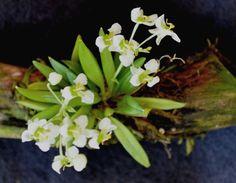 Arquivo para Micro-orquídeas - Zygostates alleniana..: