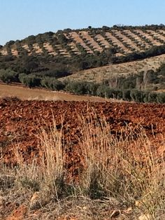 Olive grove, Toledo province, Spain, November, 2015. Photo by Ana Bustelo.