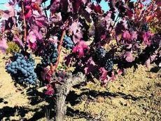 Menos uva pero de mayor calidad