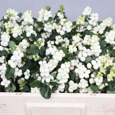 Symphoricarpos Magical Lemon Lime, also known as Snowberries, is a seasonal White cut flower - An unusual and interesting shrub which adds interest to all floristry. September Flowers, Amaranthus, Florist Supplies, Lemon Lime, Cut Flowers, Dahlia, Shrubs, Delicate, Seasons