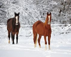 """Horses in the Snow ~ Cental Lower Michigan  I can Only imagaine what the orse talk is """" Honey, lets go for a Romantic walk...love fresh snow and being with you!"""""""