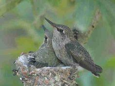 Hummingbird Nests/Eggs/Baby Hummingbird Pictures/Photos