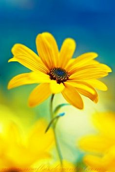 Preciosa margarita amarilla | Gorgeous yellow daisy - #flores #flowers