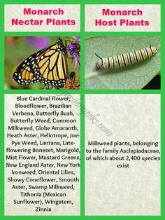 Helpful tip from The Garden Geeks: Monarch Butterfly host (caterpillar) and nectar plants. Butterfly Garden Plants, Butterfly Weed, Monarch Butterfly, Butterflies, Butterfly Kisses, Milkweed Plant, Monarch Caterpillar, Globe Amaranth, Hummingbird Garden