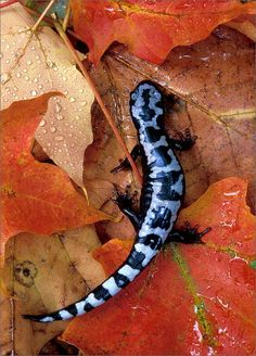 amphibian, herp, Ambystoma opacum, marbled salamander, salamander, © Patrick Zephyr ♦ Marbled Salamanders are found throughout the Southeast but are absent from southeastern Georgia, peninsular Florida, and the higher elevations of the Appalachian Mountains. They occur in a variety of habitats, which can range from low-lying floodplains to wooded hillsides. grow to about 3.5-4.25 in (9 - 10.7 cm) in size and are stout-bodied and chubby in appearance.