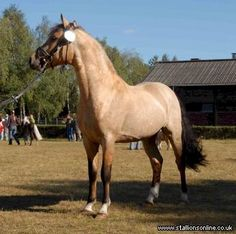 Outstanding young stallion bred at the wellknown Pattys Breeding in Germany- now standing in Ireland. Connemara Pony, Pony Breeds, Palomino, British Isles, Cosmic, Horses, Horse