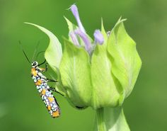 """Mystery Critter  HGTV says """"Ailanthus webworm. """"  Is not considered a garden pest so don't panic if you see it ."""