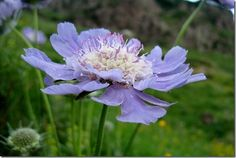 6 Scabiosa caucasica, 10 Great Perennials To Grow For Cutting