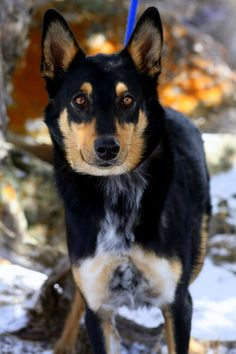 Handsome ELMER ~ Aussie/Collie mix ~ 2.5 year old male  C.A.R.E.  866-947-9173 | 2801 County Road 114, Glenwood Springs, CO 81601