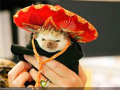 Hedgehog in a Sombrero - need we say more? http://www.ivillage.com/pets-hate-wearing-costumes/7-a-548413