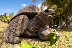 Aldabra Giant Tortoises on Curieuse Island - Seychelles