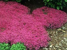 Red Creeping Thyme (Thymus Serpyllum 'Magic Carpet') hardy drought tolerant perennial, pink lemon-scented blooms all summer, inches tall. Red Creeping Thyme, Thymus Serpyllum, Ground Cover Plants, Perennial Ground Cover, Full Sun Ground Cover, Ground Cover Flowers, Low Growing Ground Cover, Ornamental Grasses, Lawn Care