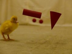 Ducklings Are Surprisingly Smart, Abstract Thinkers